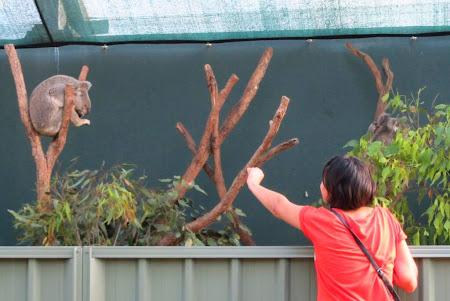 Imagini Australia: Sydney micii koala sunt cam adormiti si nu au chef de musafiri