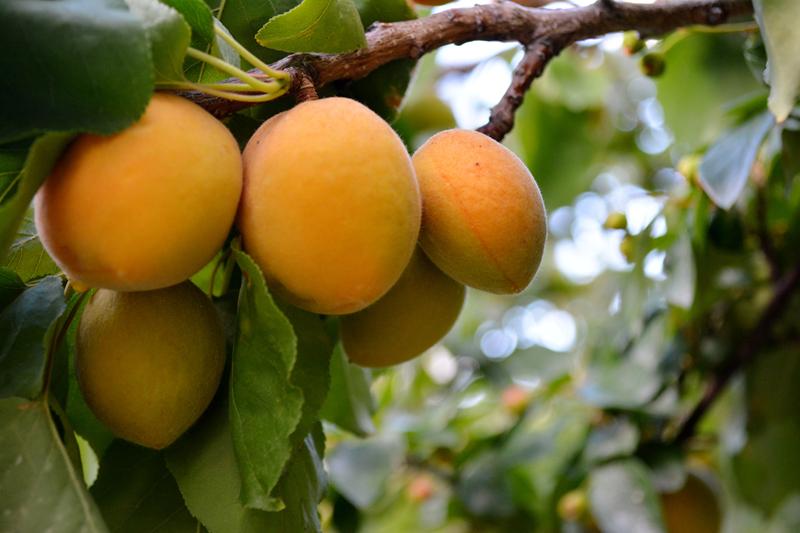 FruitShare1
