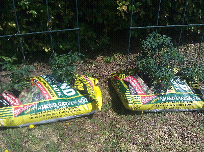 So This Year I M Experimenting And Growing Them In Bags Of Paydirt You Know The Kind Dirt Have To Pay For