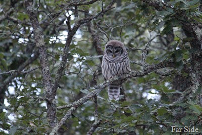 Owl in a tree at Jodys