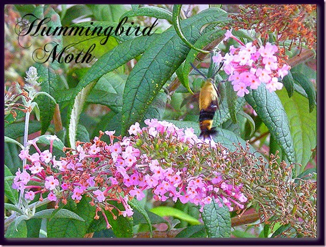 hummingbirdmothtextDSCN7680[7]