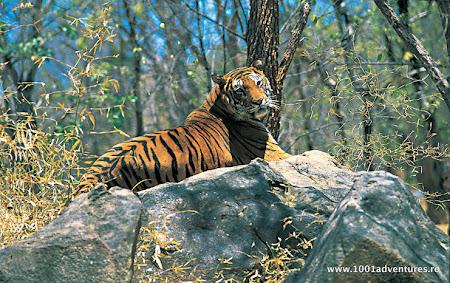 Vacanta Kerala: tigru in India.