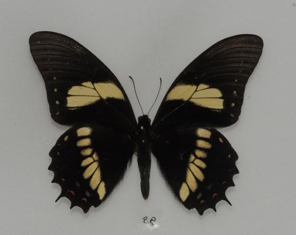 Papilio (Pterourus) menatius lenaeus DOUBLEDAY, 1846. Rio Quiquibey (Beni, Bolivie), 28 octobre 2012. Photo : C. Basset