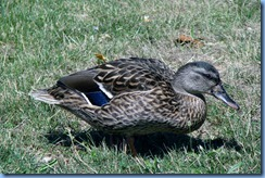 4048 Indiana - Fort Wayne, IN - Best Western Luxbury Inn - in front of hotel - Mallard duck