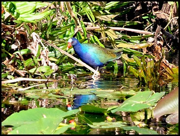 14b - Purple Gallinule