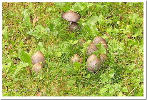 Brown_Mushrooms