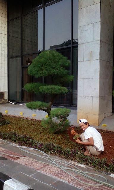 Jual pohon bonsai cemara udang harga murah, gambar cemara  udang