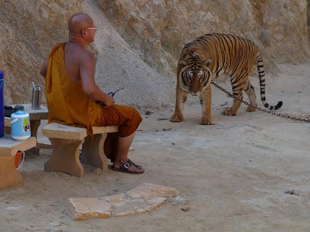Templul tigrilor Thailanda - un tigru treaz