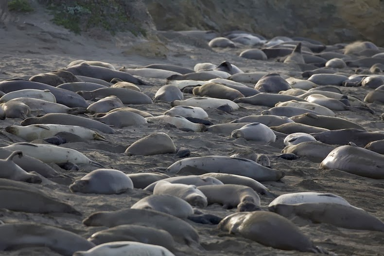 elephant-seals0
