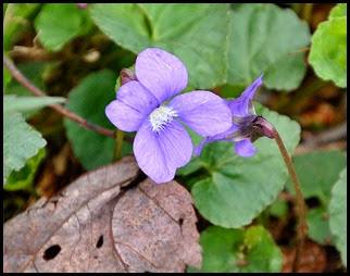 04 - Spring Wildflowers - Violets - Blue