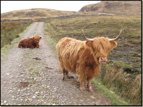 Highland cattle in Glen Arnisdale