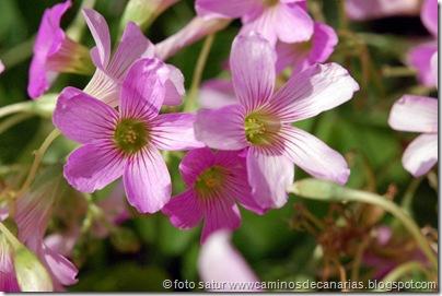 3685 S. Brígida-Cruz Piquillo(Trebina violeta)