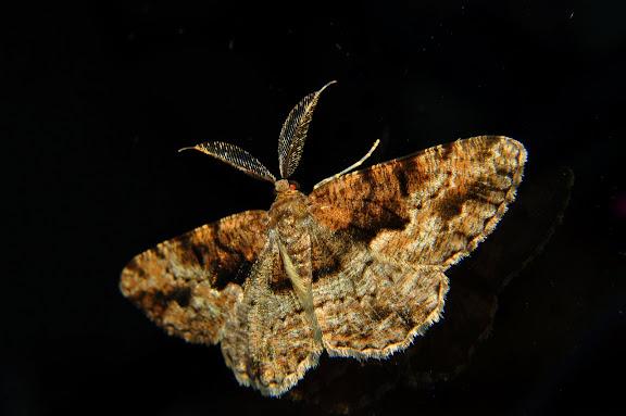 Geometridae : Ennominae : Boarmiini. Probablement : Gastrinodes argoplaca MEYRICK, 1892. Umina Beach (New South Wales, Australie), 25 mars 2011. Photo : Barbara Kedzierski