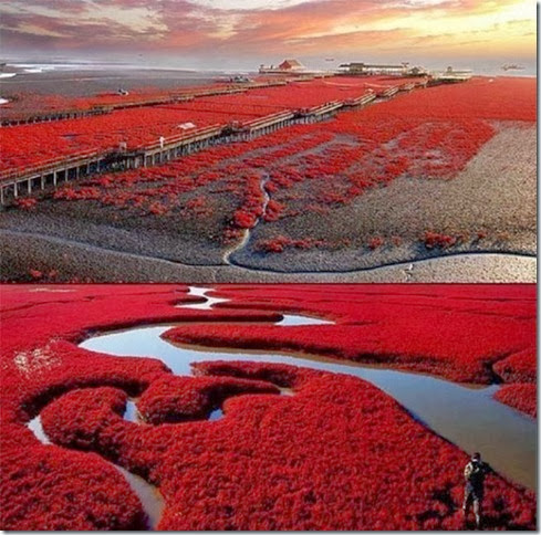 Panjin-Red-Beach-China--620x614[4]