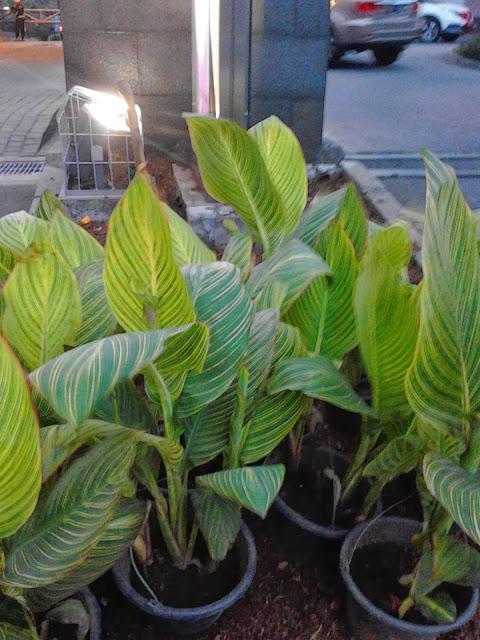 Jual pohon Kana variegata