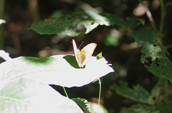 Cymothoe hypatha hypatha HEWITSON, 1866. Ebogo (Cameroun), 8 avril 2012. Photo : J.-M. Gayman