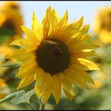 Sonnenblumenlabyrinth