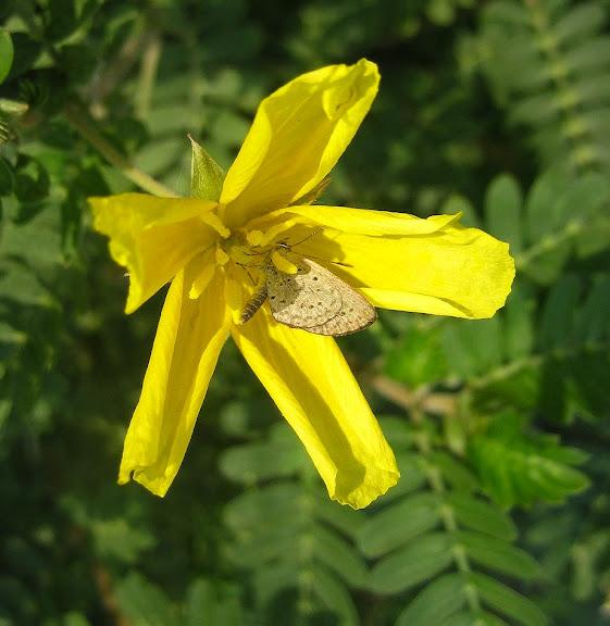 Lycaenidae : Zizeeria knysna TRIMEN, 1862 (?). Kakum National Park (Ghana), 24 janvier 2006. Photo : Henrik Bloch