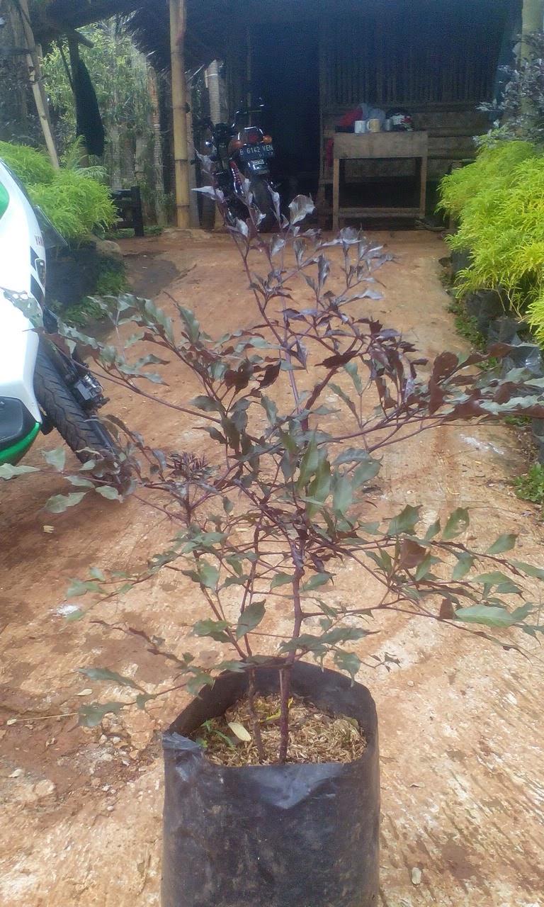 Jual Pohon Lea Ungu Tukang Taman Tanaman Hias