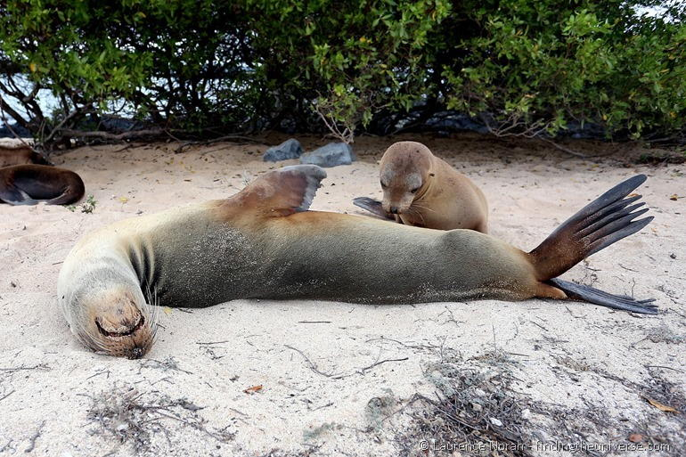 Baby sea lion suckling on mother Galapagos 2