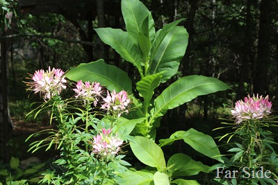Tobacco and Cleome