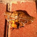 Pine Tree Emperor moth