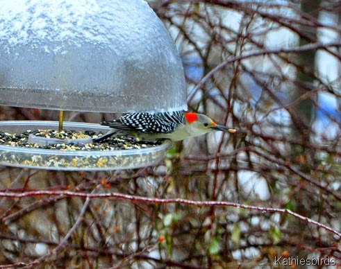 1. red-bellied woodpecker-kab