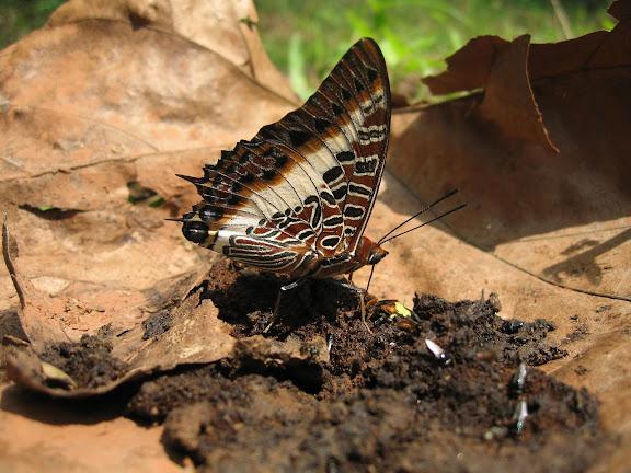 Charaxes brutus brutus CRAMER, 1779, mâle. Bobiri Forest (Ghana), 22 janvier 2006. Photo : J. F. Christensen
