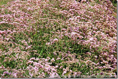 3116 Siempreviva rosada(C)
