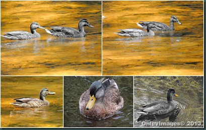 duck collage