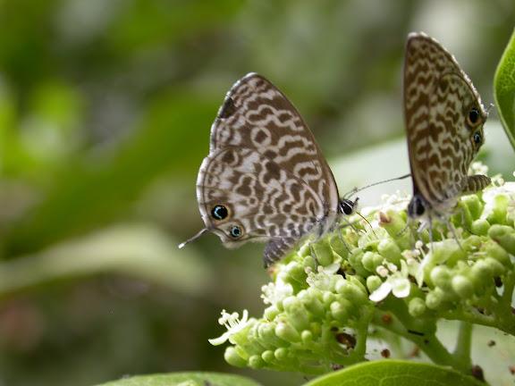 Leptotes rabenaber MABILLE, 1877 (Bleu zébré de Madgascar). Jardin de l'hôtel Lavasoa à Fort Dauphin, 11 décembre 2004. Photo : Richard