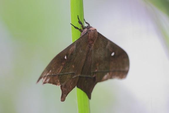 Saturniidae : probablement Imbrasia epimethea DRURY, 1772. Réserve Écologique du Mont Koup, Nyasoso (Cameroun), 6 mars 2012. Photo : Timothy Boucher