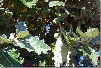 5467 La Laguna-Vueltas Acero-Firgas(Tomatillo blanco)