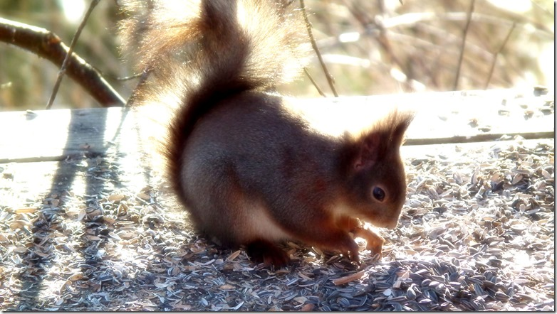 gallnas-squirrel-2013-010