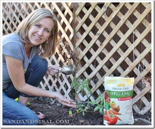 Organic Tomato planting