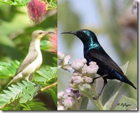 022 Sunbird ( Male-Female ) Sakkar Khor