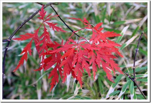 130110_Acer-palmatum-Red-Dragon_02