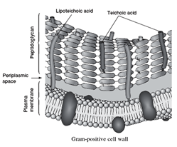 Gram positive Cell wall