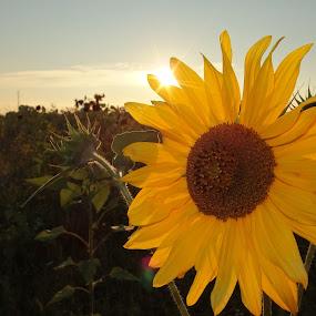 Ray of Hope by Pipia Kanjeva - Flowers Single Flower ( #hope, #field, #sunset, #sun, #sunflower, Hope,  )