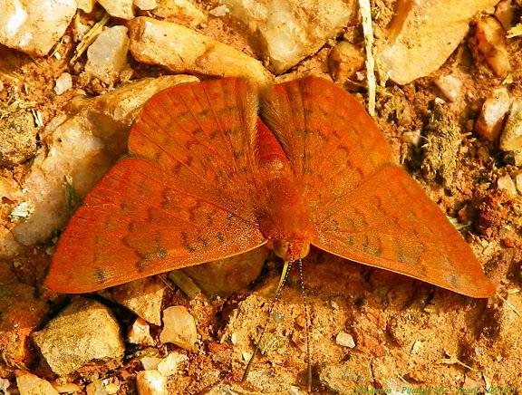 Riodinidae : Helicopini : Emesis diogenia PRITTWITZ, 1865. Pitangui (MG, Brésil), 12 juin 2011. Photo : Nicodemos Rosa
