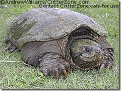 AWRP051805_37-common-snapping-turtle