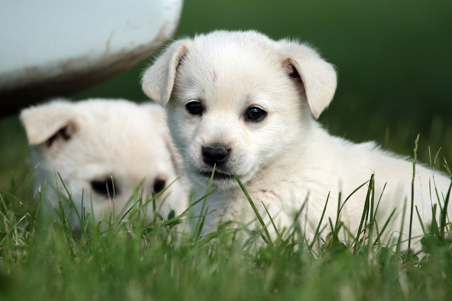 by Andy Cíger - Animals - Dogs Puppies (  )