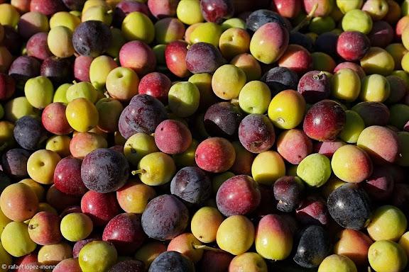 Collita d'olives, barranc de les Parades, La Bisbal de Falset, Priorat, Tarragona