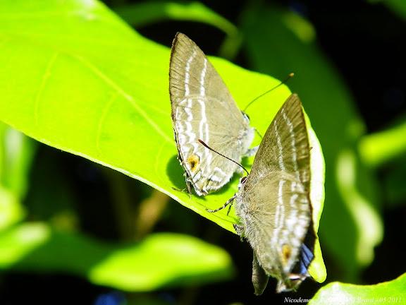 Lycaenidae : Theclinae : Cupathecla cupentus (STOLL, 1781). Pitangui (MG, Brésil), 4 mai 2011. Photo : Nicodemos Rosa