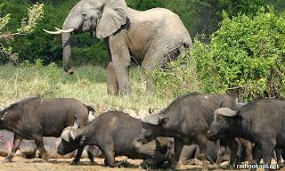 Buffles et éléphant dans le parc des Virunga, Nord-Kivu, 2004.