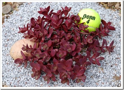 Sedum 'Cherry Tart' from Chris Hansen5