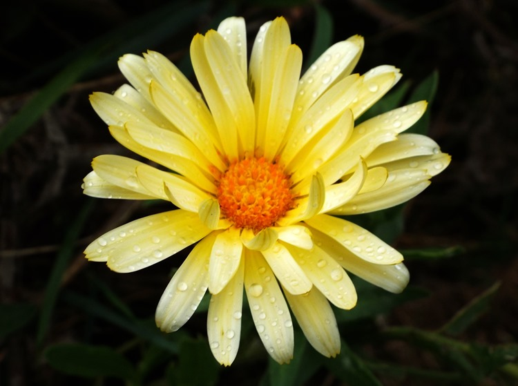 yelllow daisy wild flower