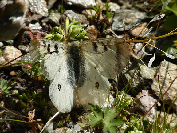 Parnassius (Driopa) nordmanni Ménétriès, 1849, mâle. Cheget (Terskol), 2750 m (Kabardino-Balkarie), 12 août 2014. Photo : J. Michel