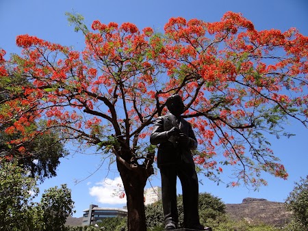 Copaci infloriti in Port Louis, capitala Mauritius