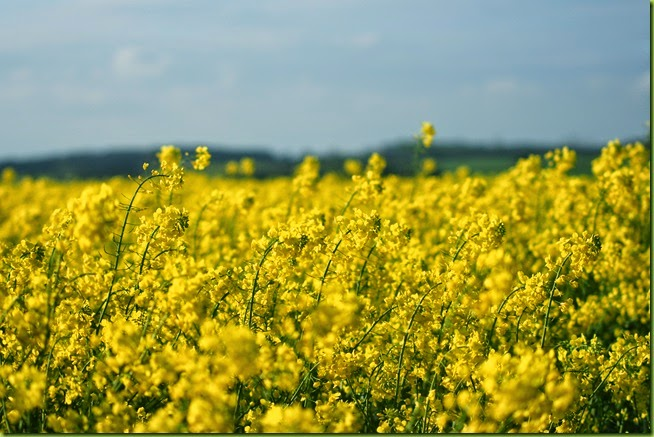 oil seed rape field